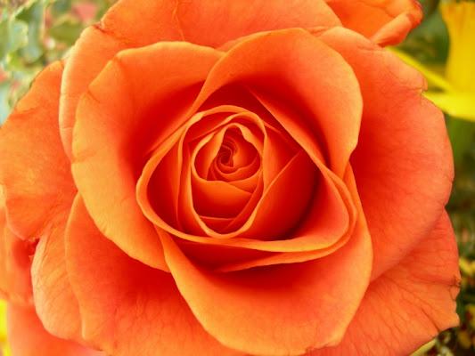 Una rosa color arancio di lady oscar