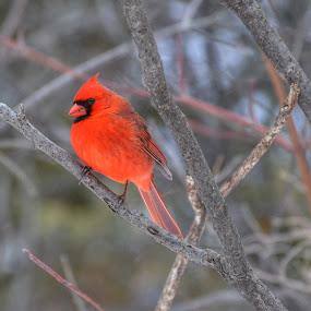 by Olivier Grau - Animals Birds ( bird, cardinal, red, portrait, branches,  )