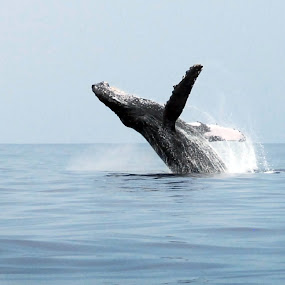 Big Leap by Anita Elder - Animals Other Mammals ( humpback, whale )