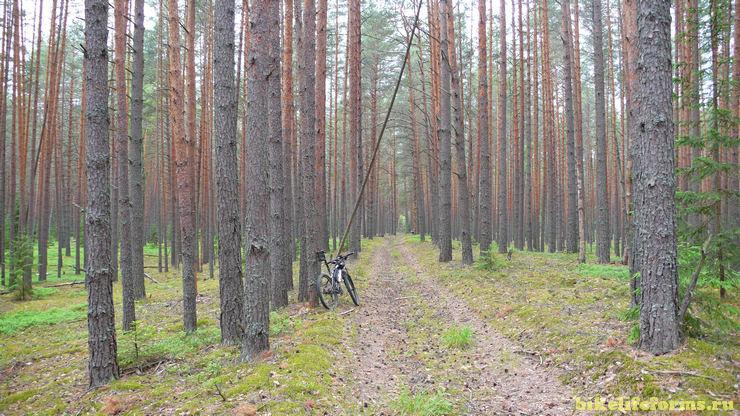 сосновый бор около реки Вязьма