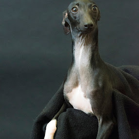 Bernard by Sarah Hauck - Animals - Dogs Portraits ( mini greyhound, dog face, dog portrait, dog lounge, dog front )
