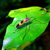 Black & Orange Banded Crane Fly
