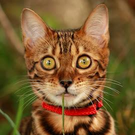 by Jane Bjerkli - Animals - Cats Playing ( pwc84 )