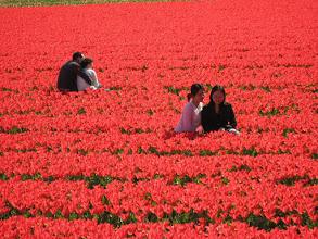 Photo: #011-Les champs de tulipes dans les environs de Lisse.