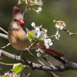 by Dana Johnson - Animals Birds ( spring, blooms, female cardinal, animals, cardinal, birds )
