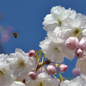 Flowers and bees by Els He - Flowers Tree Blossoms ( pink, blossom, bee, tree, pink flower, flower,  )