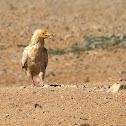 Alimoche común (Egyptian vulture)
