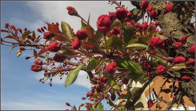 Photo: Măr japonez (Malus floribunda)   - di Turda, Str. Libertatii - 2019.04.16