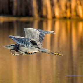 Blue Heron by Tomas Rupp - Animals Birds ( bird, flight, blue heron, wildlife, heron,  )