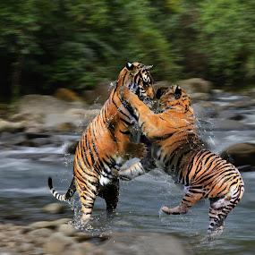 Duel tiger by Hendrik Cuaca - Animals Lions, Tigers & Big Cats