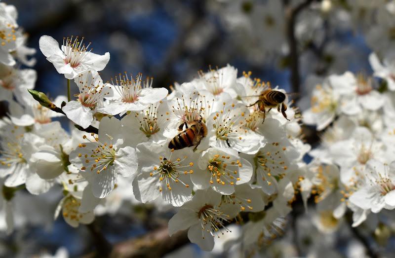 il lavoro delle api in primavera di renzo brazzolotto