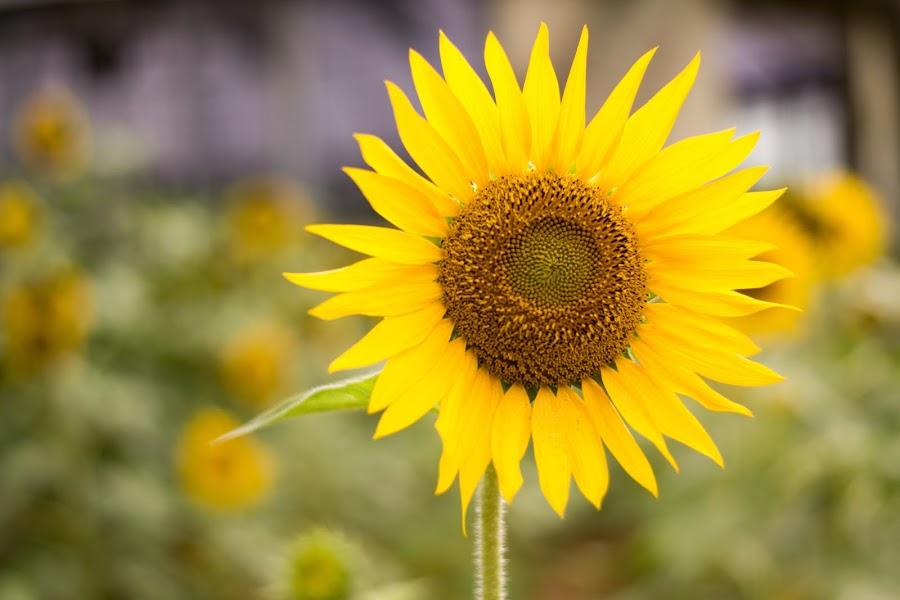 by Murthy Putrevu - Flowers Single Flower