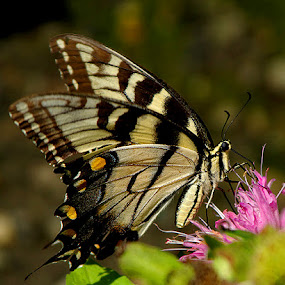 Butterfly by Peggy LaFlesh - Animals Insects & Spiders ( butterfly, monarch, pink, yellow, insect, flower,  )