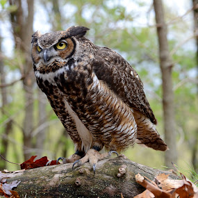 Spotted Something by Andrea Silies - Animals Birds ( bird, world bird sanctuary, pwctaggedbirds, owl, great horned owl )