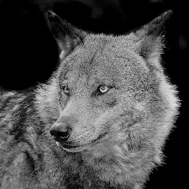 The iberic wolf by Gérard CHATENET - Black & White Animals