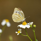 Cepora nerissa 黑脈園粉蝶