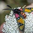 Princely Tiger Moth