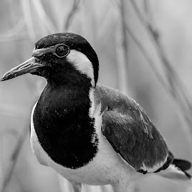by Mohsin Raza - Black & White Animals