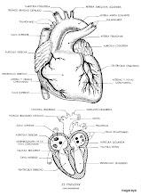 Photo: cuerpo humano corazón