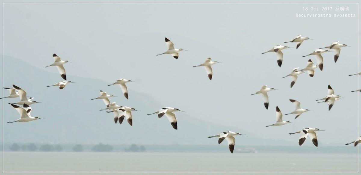 Recurvirostra avosetta 反嘴鴴