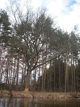 Photo: boberek zabrał się za duuuuże drzewko