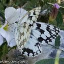 Iberian Marbled White