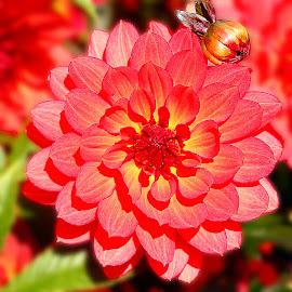 Dalhia n00005 by Gérard CHATENET - Flowers Single Flower
