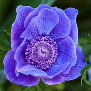 0 Poppy 9708~.jpg