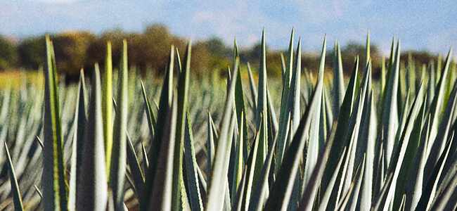 Agave Plants Are Used To Make Mezcal