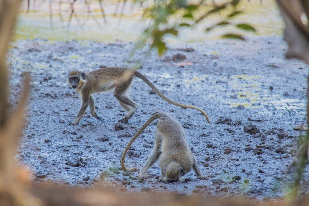 dieren-gambia