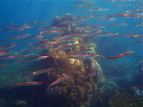Photo: large schooling fish
