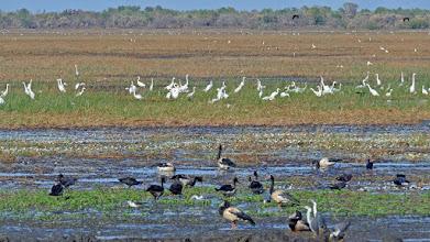 Photo: Day 2 -  Geese Egrets anf Herons at Mamukala © Ian Morris