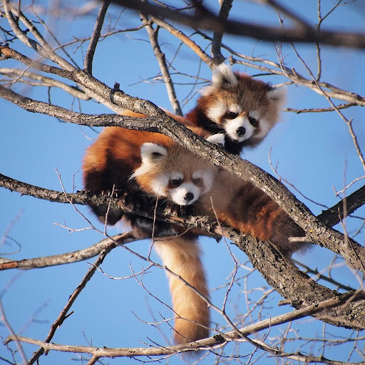 Red Pandas Puzzle Rotate FREE 1.0 screenshots 3
