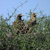 eagles on nest