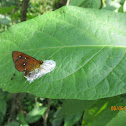 Chestnut Bob Butterfly