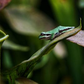 Tree frog  by Todd Reynolds - Animals Amphibians