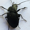 Notched-mouth Ground Beetle