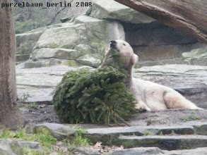 Photo: Knut testet den Geschmack des Nadelholzes ;-)