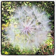 Photo: Dandelion at SilverHills.ca #intercer #dandelion #plant #plants #nature #green #white #wind #fly #britishcolumbia #canada #trail #silverhills #forest #tree #flower #flowers - via Instagram, http://instagram.com/p/b_3K-8JfsQ/