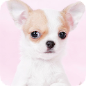 Chihuahua Background icon