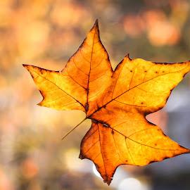 Autumn leaf by Natalia Photography - Nature Up Close Leaves & Grasses ( leaves, nature, closeup, leaf, colors,  )