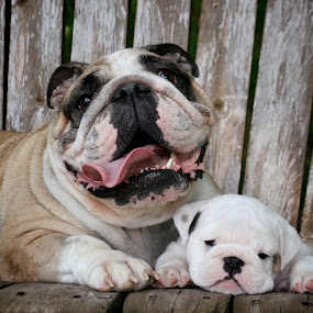 Mabel's Pride & Joy by Julie Anderson - Animals - Dogs Portraits ( bulldog )
