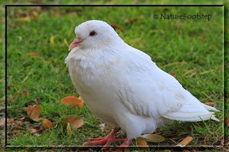 Photo: Rock Dove - Columba Livia  © NF Photo 110814 Honolulu http://nfbirdworld.blogspot.se/2014/04/rock-dove-columba-livia-klippduva.html