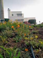 Photo: Native California poppies and buckwheat were among the plants in full bloom at the top of the Hidden Garden Steps gardens (16th Avenue, between Kirkham and Lawton streets in San Francisco's Inner Sunset District) in early April 2014. New and returning volunteers are welcome to join volunteer-driven community-based gardening and clean-up efforts on the second Saturday of each month from 1- 3 pm.   For more information about the Steps and the 148-step ceramic-tile mosaic completed by project artists Aileen Barr and Colette Crutcher, please visit our website (http://hiddengardensteps.org), view links about the project from our Scoopit! site (http://www.scoop.it/t/hidden-garden-steps), or follow our social media presence on Twitter (https://twitter.com/GardenSteps), Facebook (https://www.facebook.com/pages/Hidden-Garden-Steps/288064457924739) and many others.