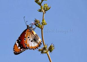 Photo: Mariposa monarca africana (Danaus chrysippus)