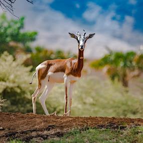 Alone -Gazalle by Ramakrishnan Sundaresan - Animals Other