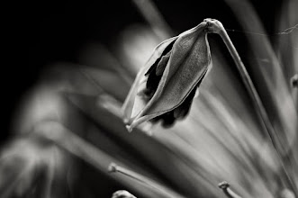 Photo: seeds of life... #bwphotography  #monochromephotography  #floralphotography