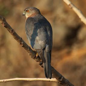 Shikra by Vivek Naik - Animals Birds ( birds, shikra )
