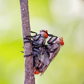 Percintaan Laler by Oengkas Wijaya - Instagram & Mobile Android ( love, makro, insects, indonesia, borneo,  )