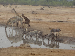 Photo: Giraffe and zebra party